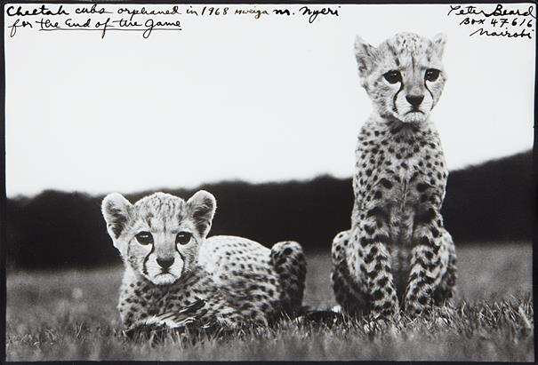 A Peter Beard Orphaned Cheetah Cubs Original mod