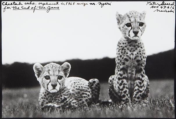 A Peter Beard Orphaned Cheetah Cubs Original mod