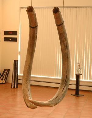 20140310 tusks 2